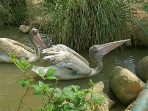 adampol-pelikany